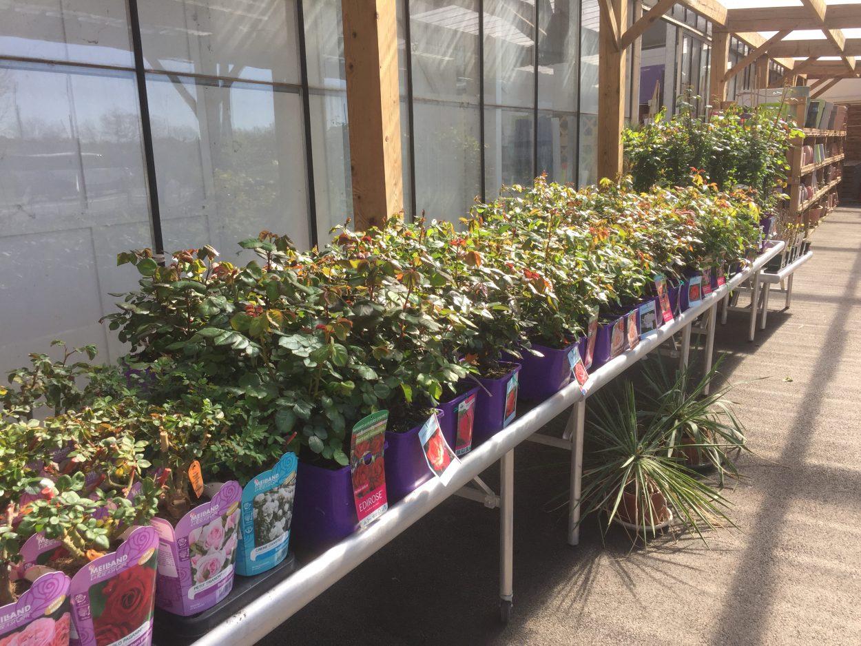 Rosier à planter pépinière jardinerie Rodez