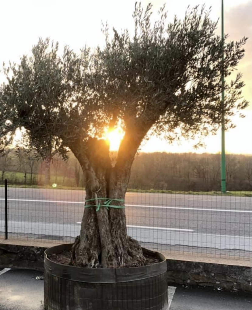 Un olivier dans la jardinerie andré à Rodez
