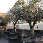 Notre sélection d'oliviers dans votre jardinerie à Rodez